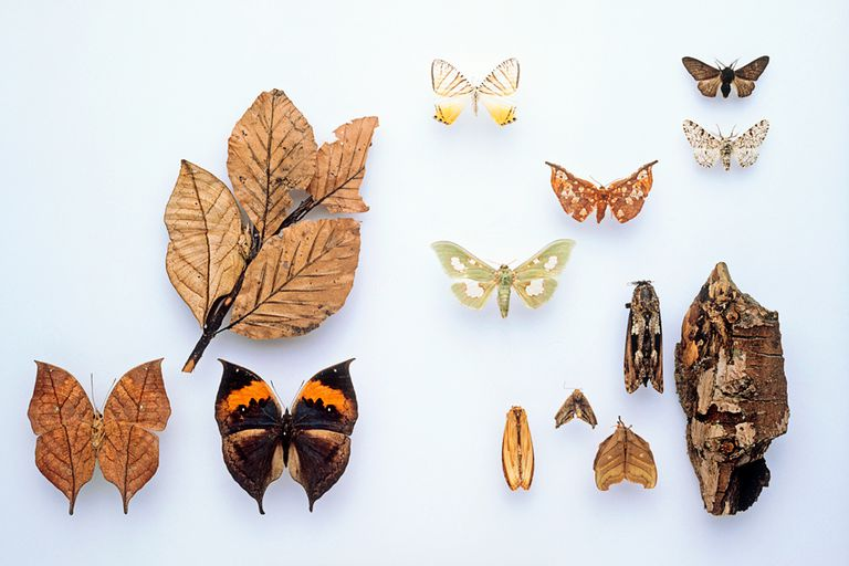A collage of camouflaging butterflies and moths. Both color variations of the peppered moth are pictured in the upper right corner. Also shown here are the Indian leaf butterfly, Uraniid moth, South American leaf moth, Pyralid moth, Carpenter moth, Notodontid moth, and Saturniid moth.