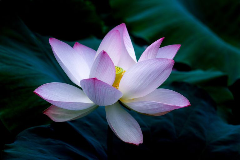 lotus-open.jpg