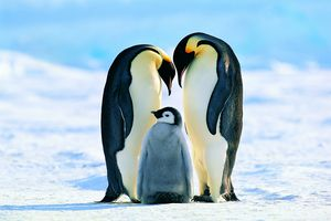 Male and female emperor penguins look alike.