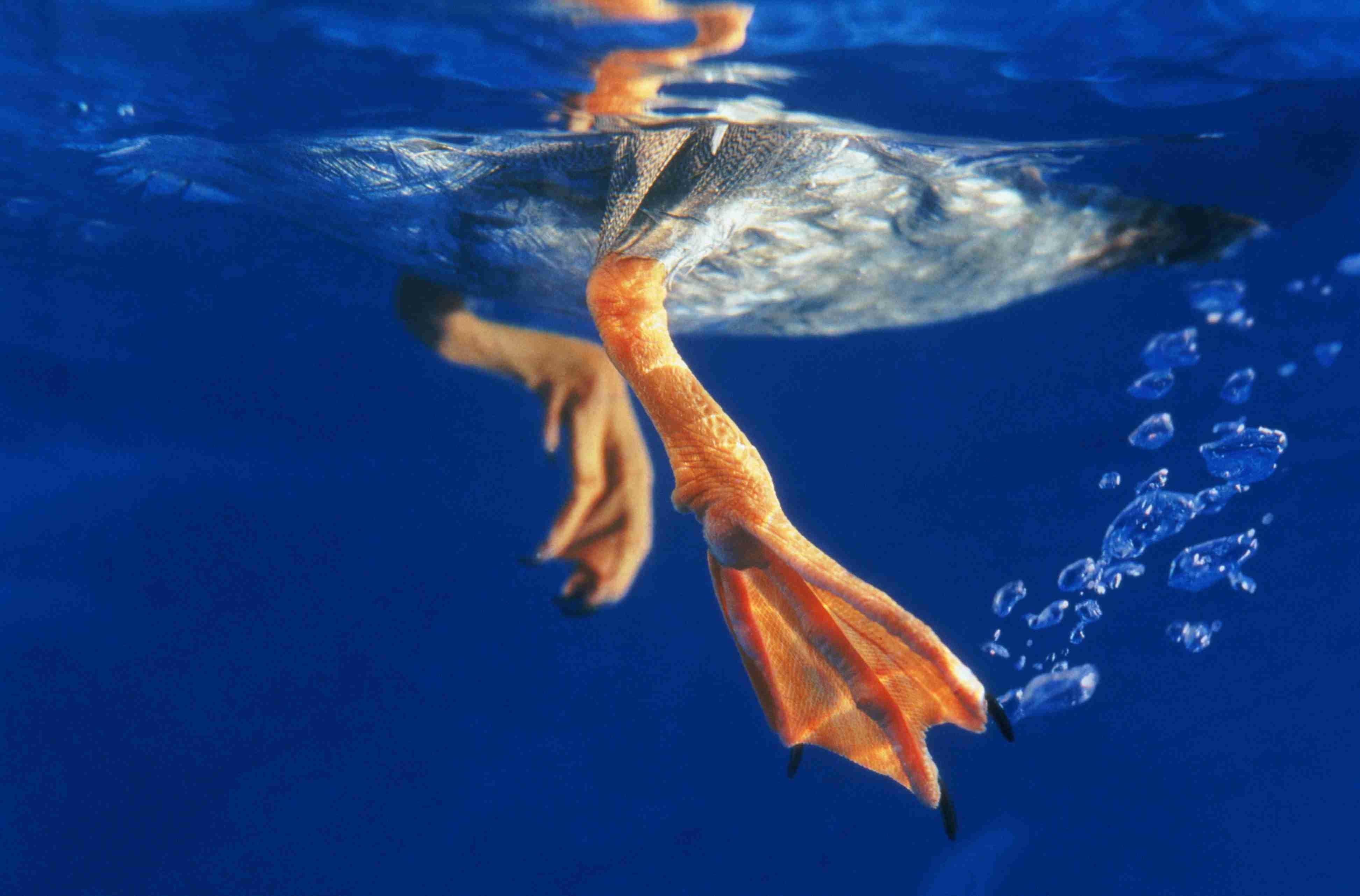 Nahaufnahme der Schwimmfüße einer schwimmenden Ente