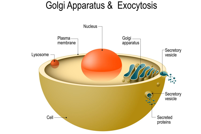 Golgi apparatus and Exocytosis