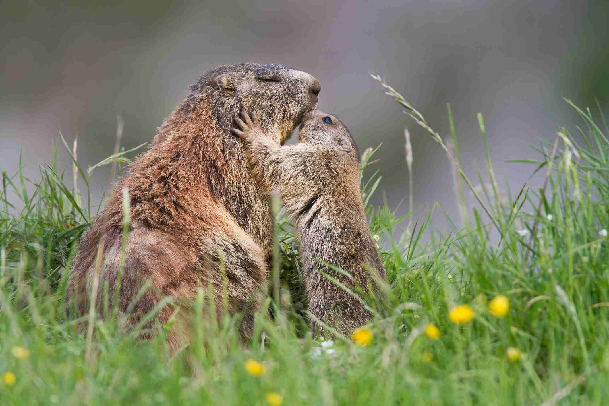Baby groundhogs look like miniature versions of the adults.