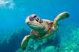 Sea turtle swims underwater