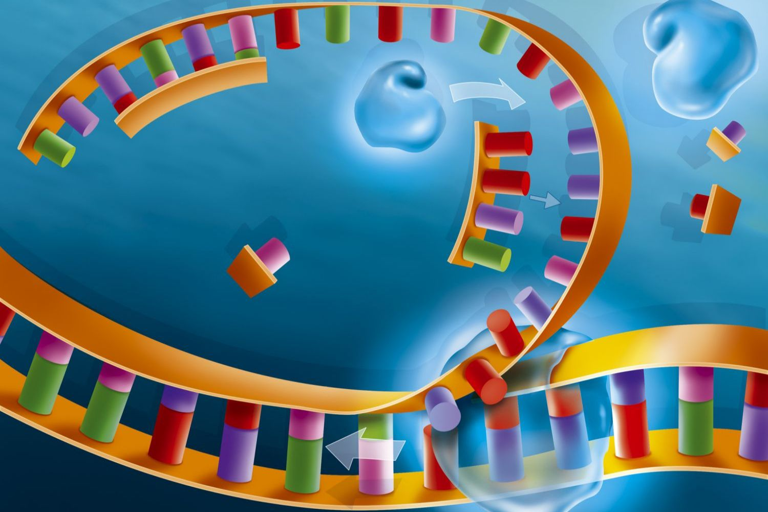DNA polymerases (blue) attach themselves to the DNA and elongate the new strands by adding nucleotide bases.