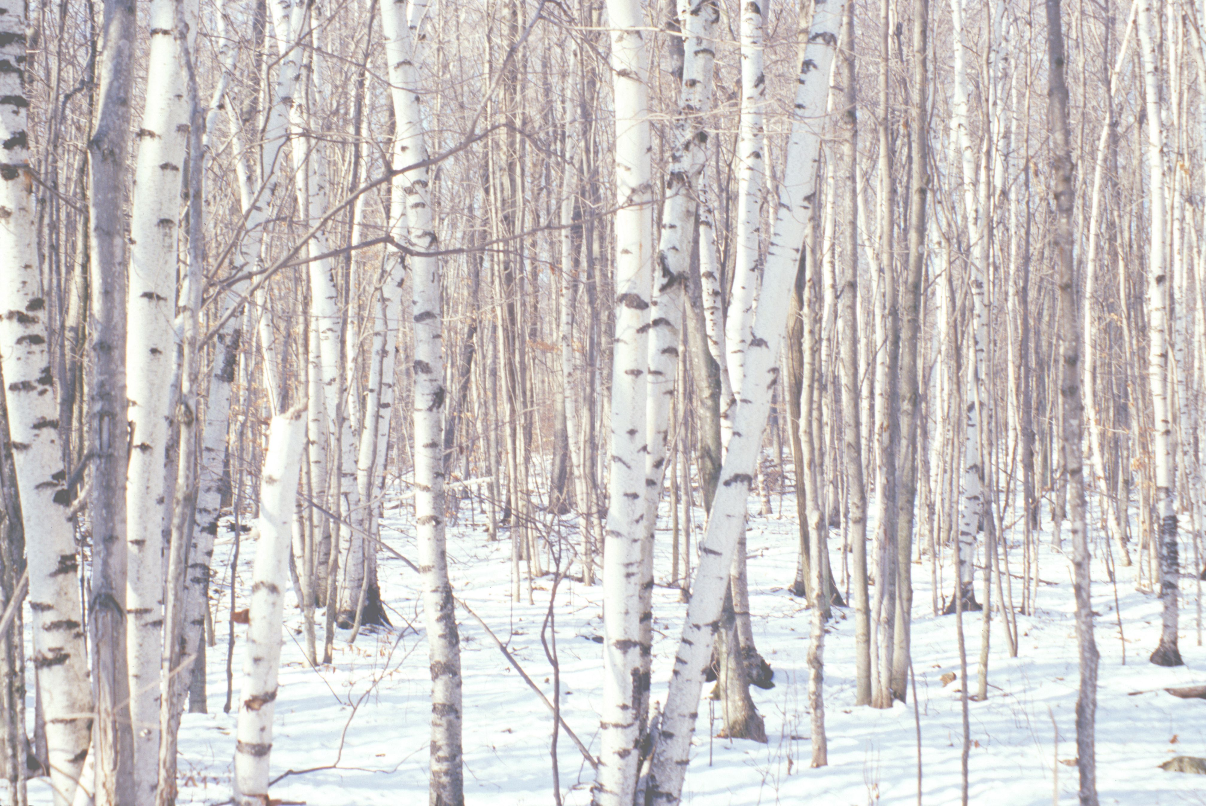 Grove of birch trees and snow