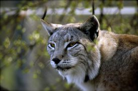 lynx, or lince in Spanish