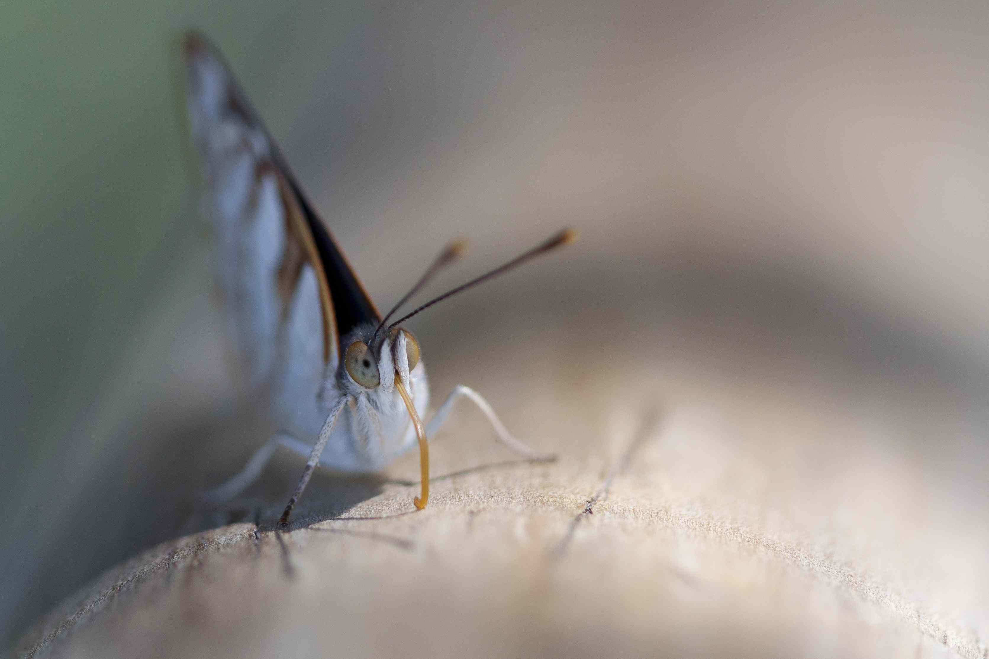 Border butterfly, Iguazu falls