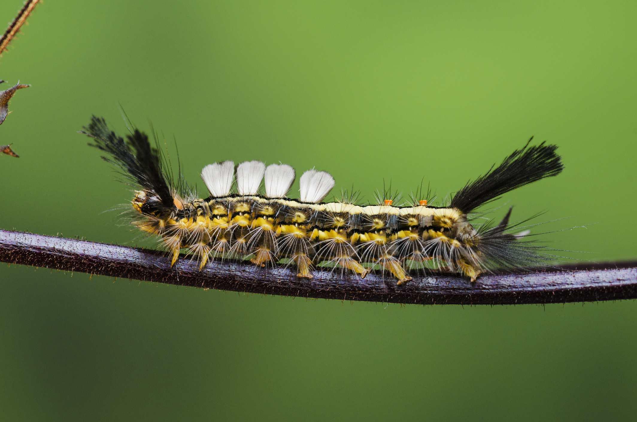 White marked tussock moth caterpillar.