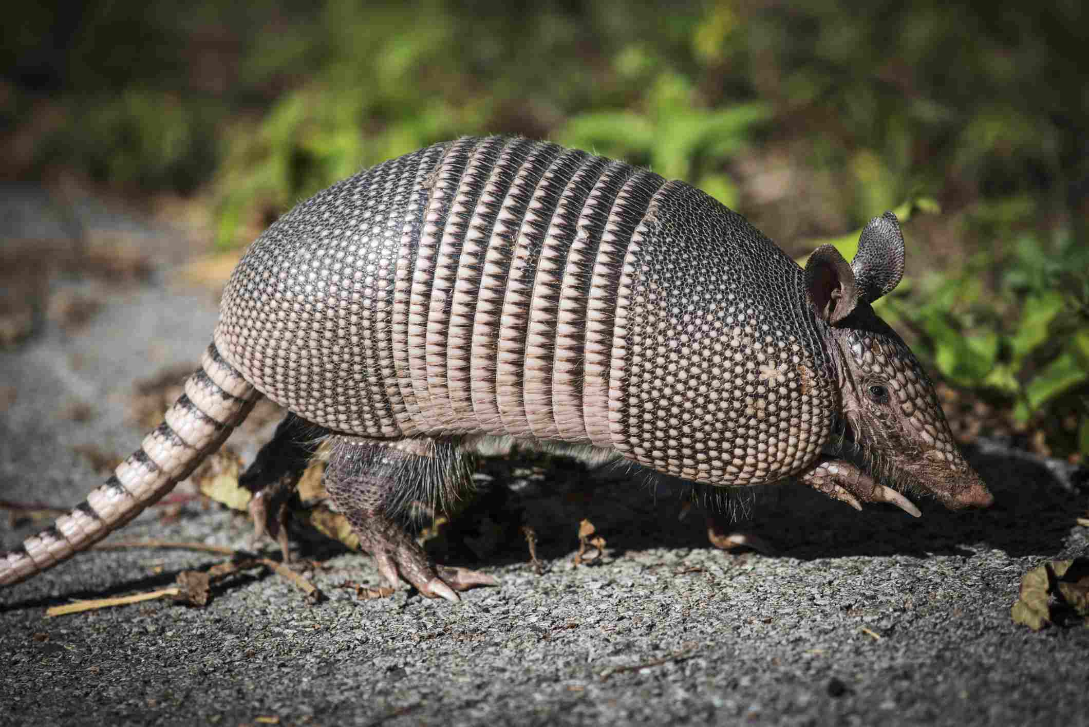 Armadillo in profile standing on a rock.