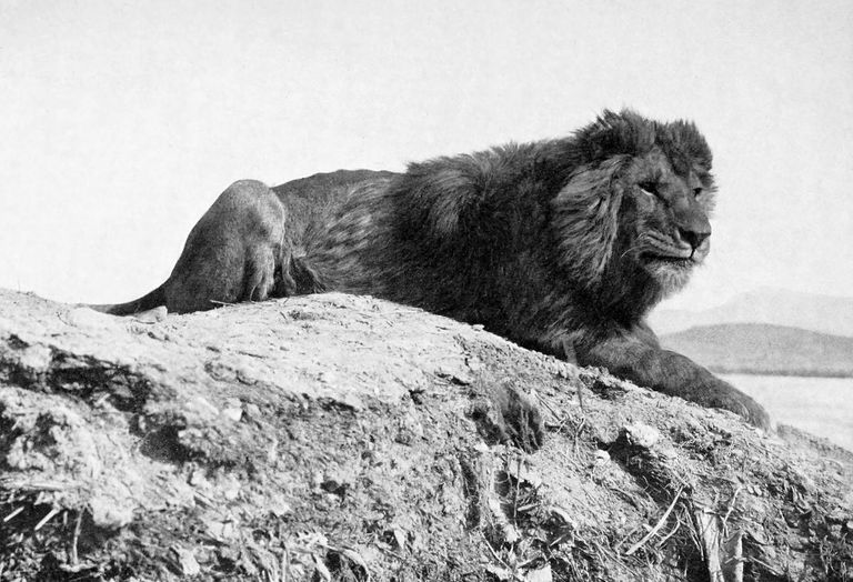 A Barbary lion (Panthera leo leo) from Algeria. Photographed by Sir Alfred Edward Pease.