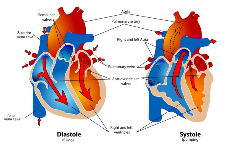 Diagram of the heart during the diastole and systole phases of the cardiac cycle.