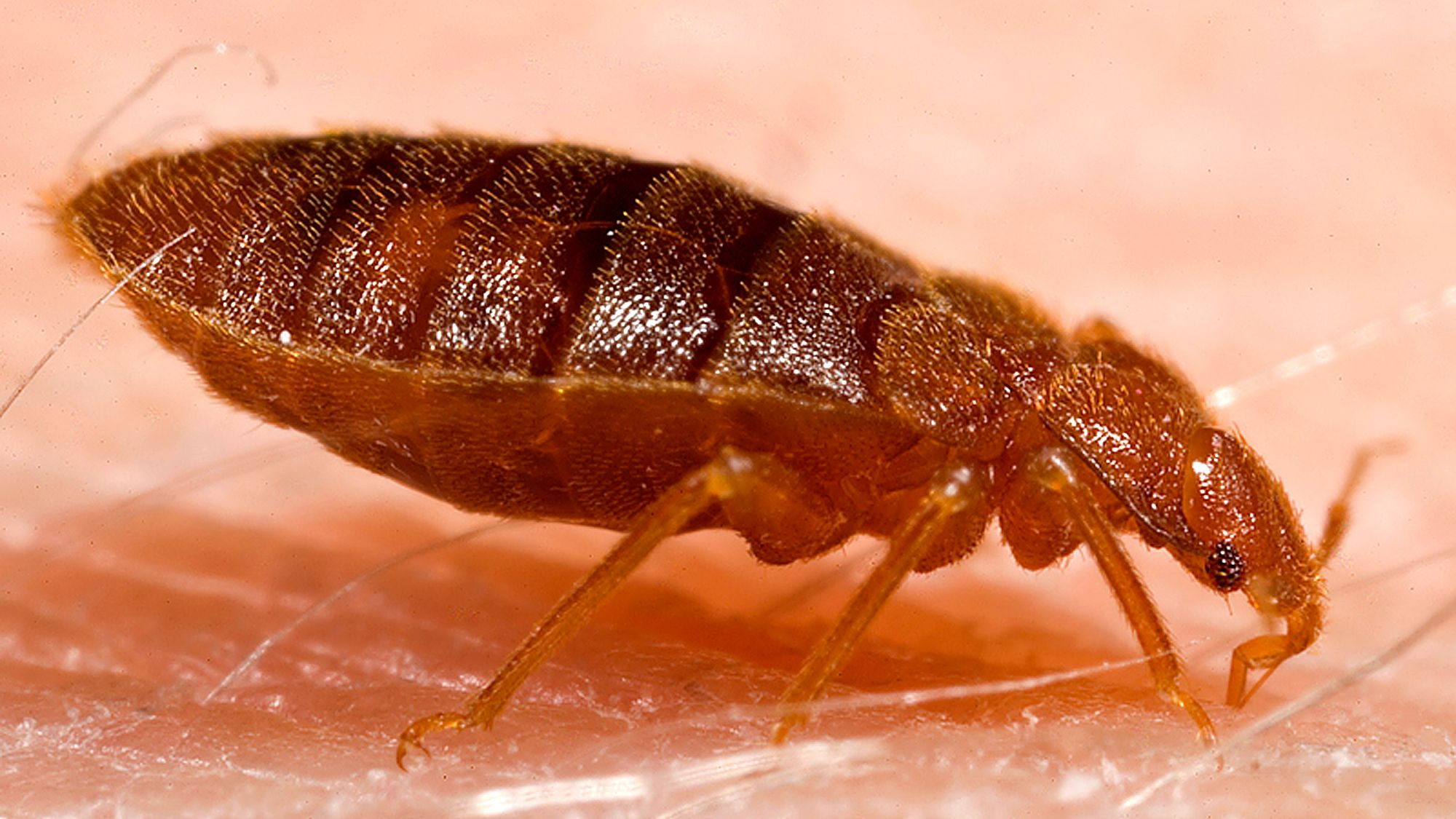 Why Is Getting Rid Of Bed Bugs So Hard