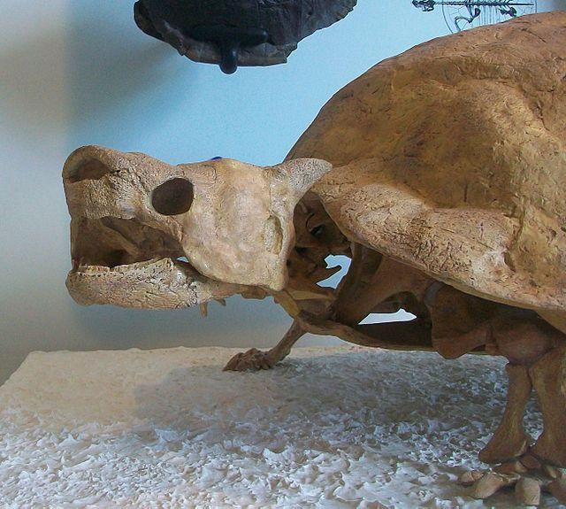 Skeleton of the horned turtle <i>Meiolania</i>