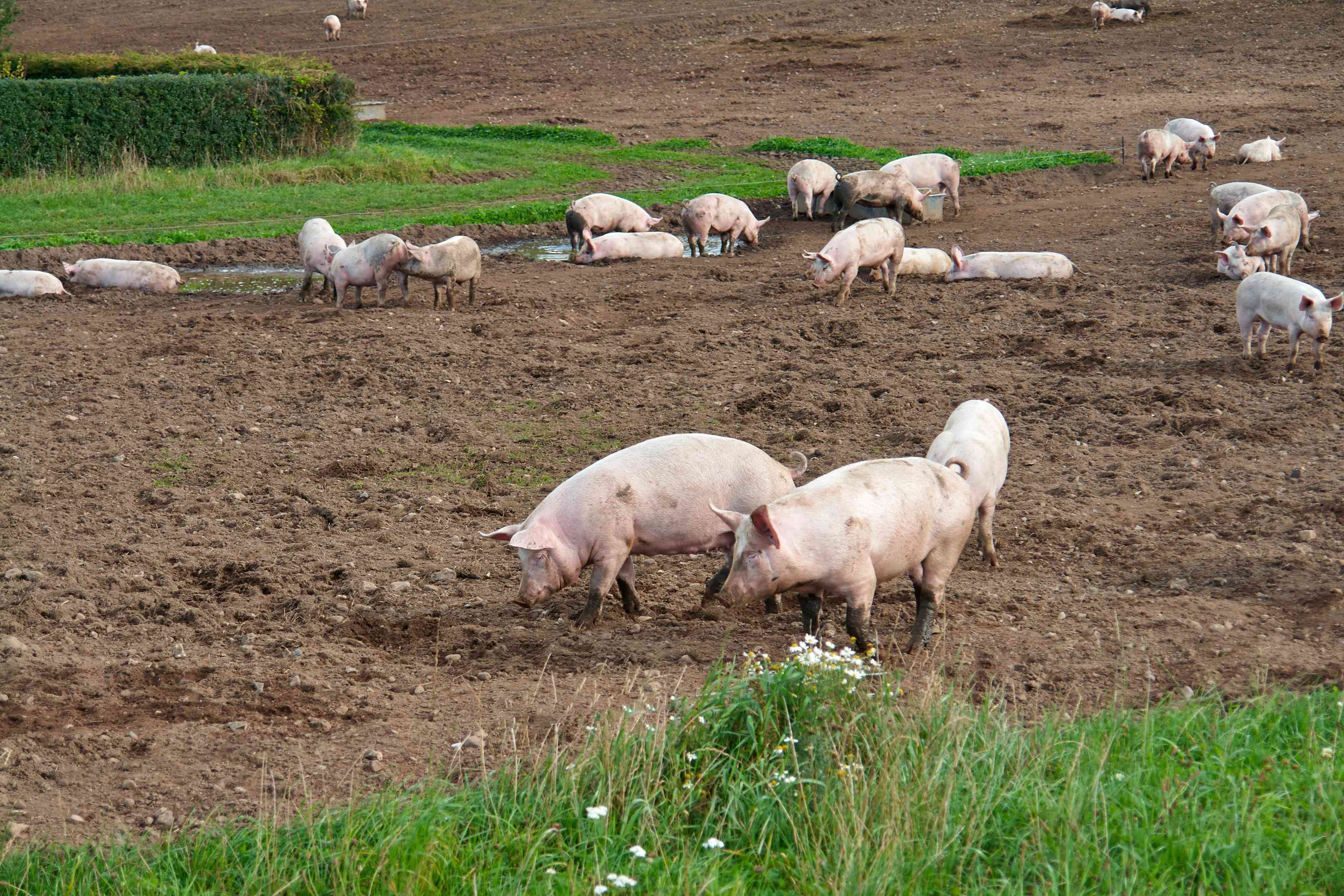Domestic Pig Facts