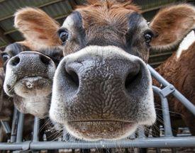 closeup of cow's nose