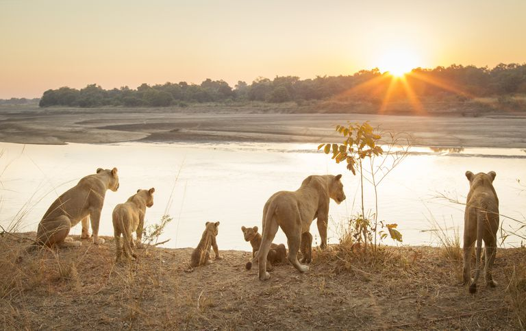 Lionesses and cubs in South Luangwa National Park, Zambia