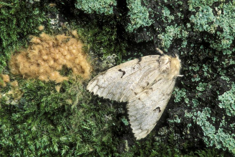 Gypsy moth female with egg mass