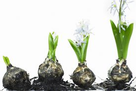 Bulbs growing flowers at different stages of development
