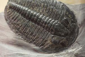 Elrathia kingii species of Trilobite