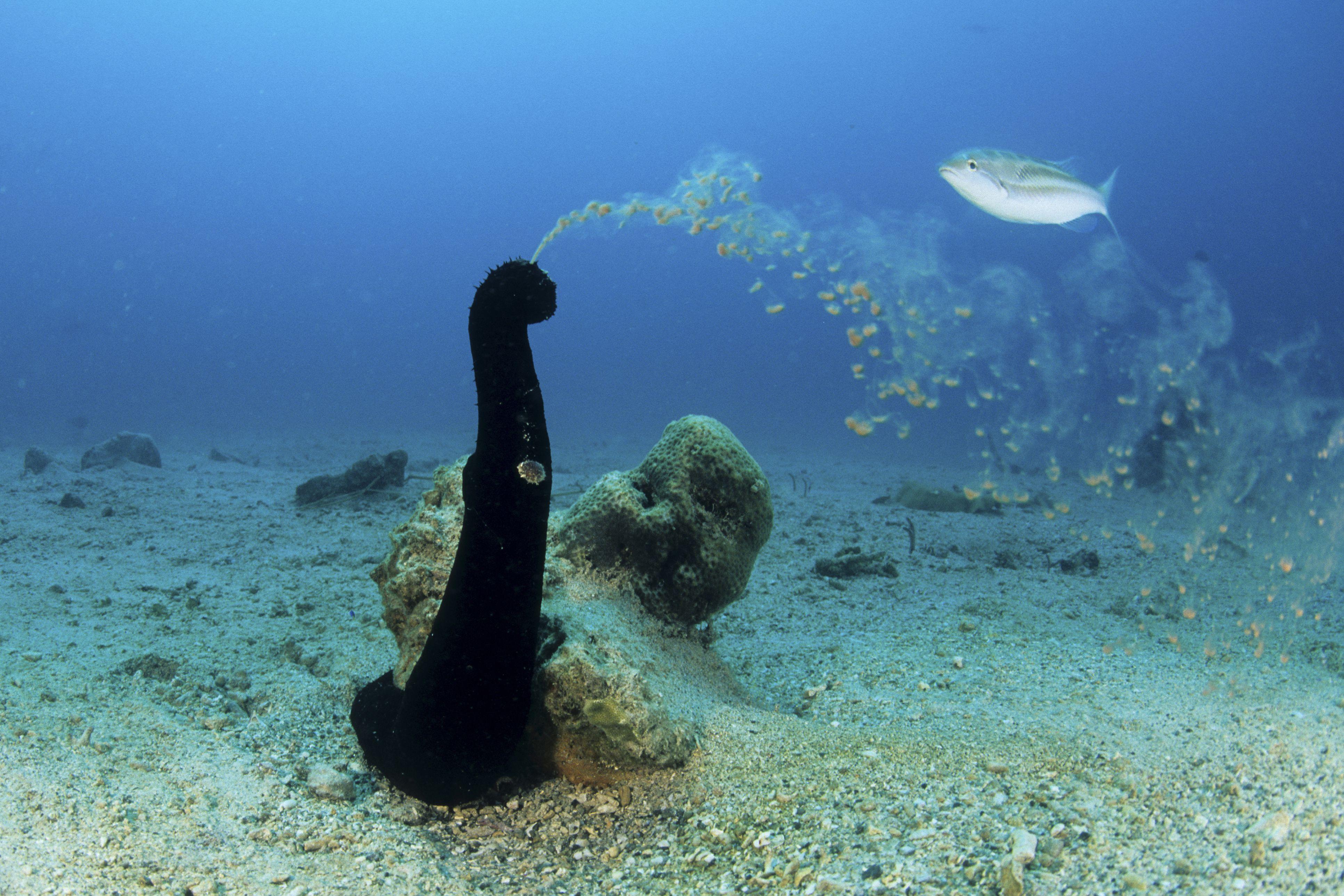 Sea cucumber spawning eggs