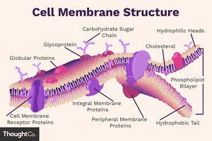 An illustration of cell membrane structure, with important parts labeled