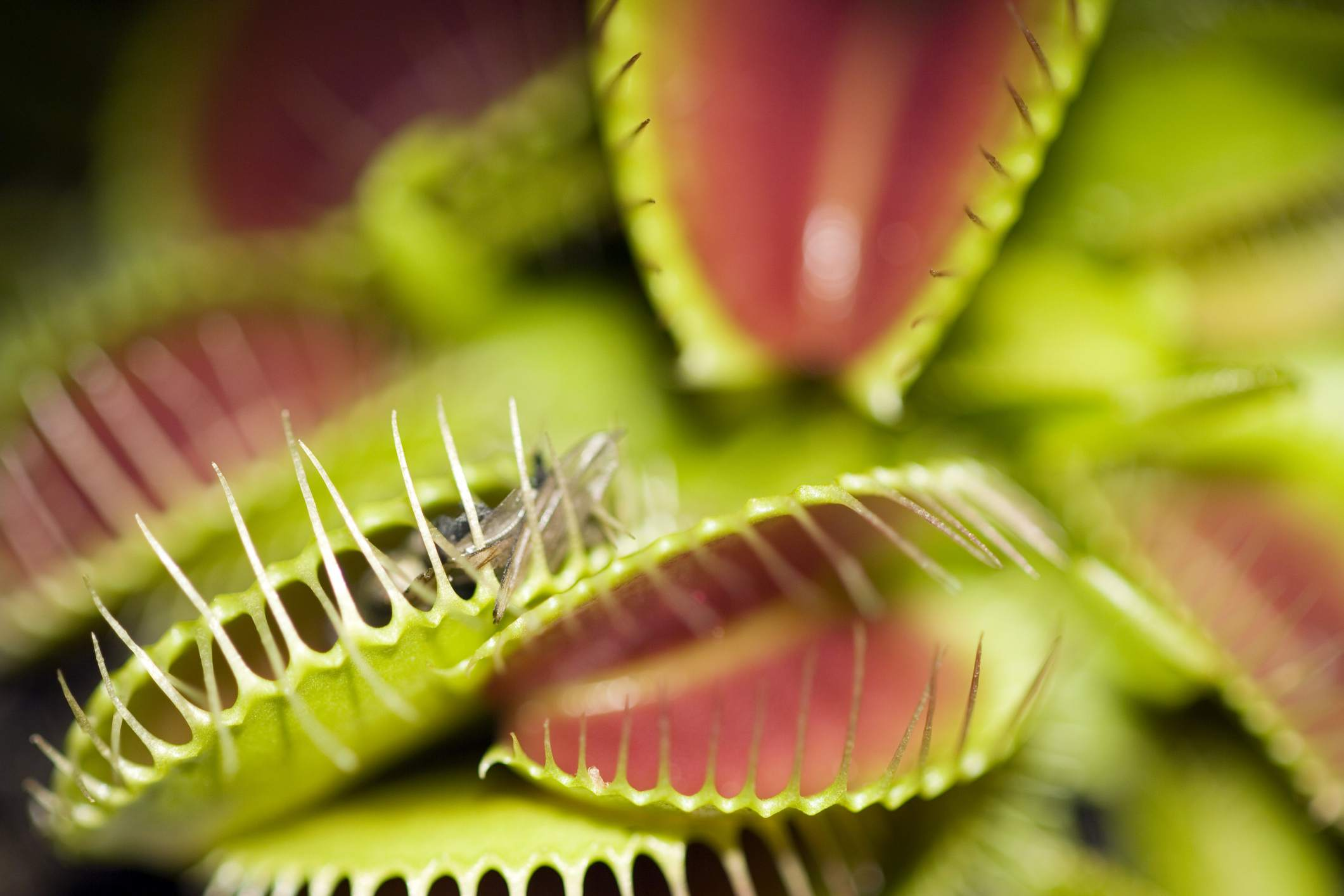 12 Plants That Eat Animals And How They Do It Flytrap Robots Can Hunt Catch Bugs For Meals Getty Images