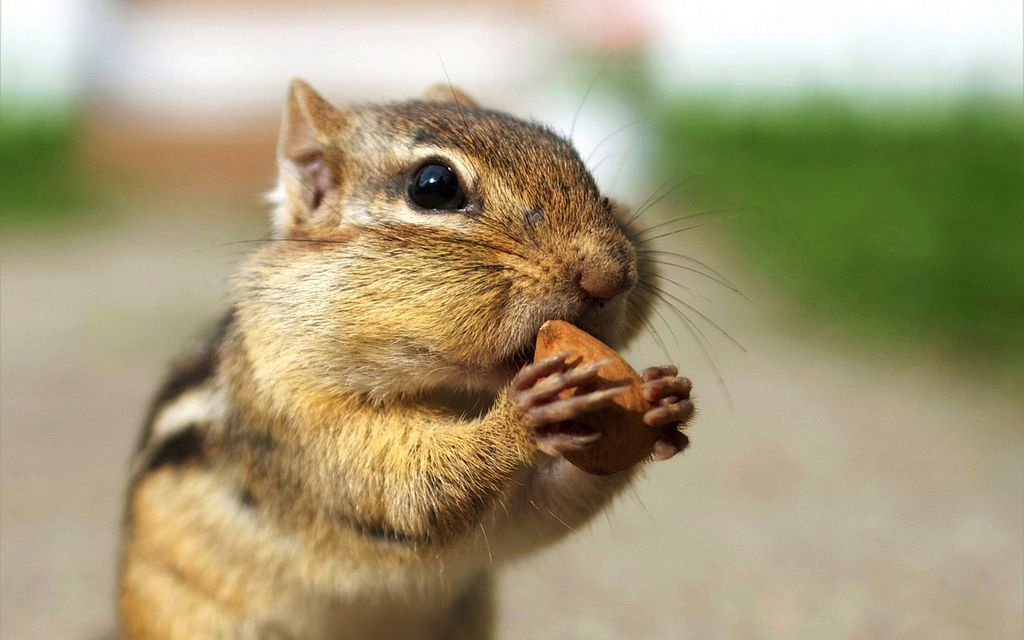 A chipmunk eating an almond