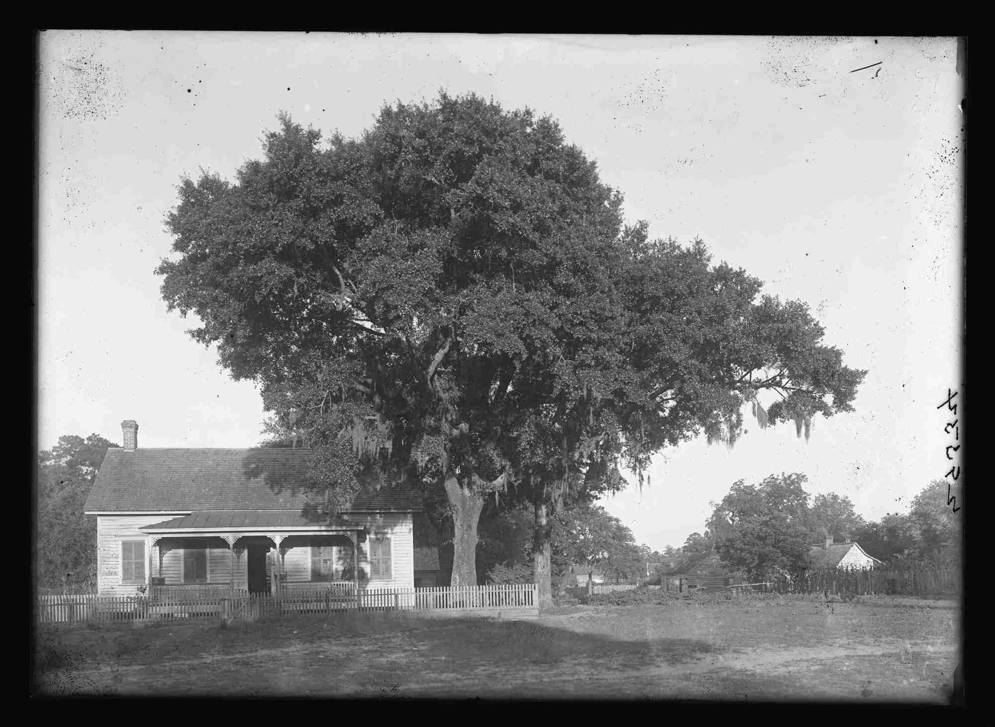 old photo of laurel oak tree next to house