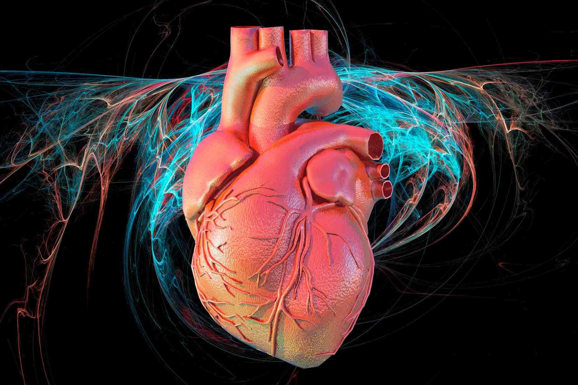 Illustration of a human heart