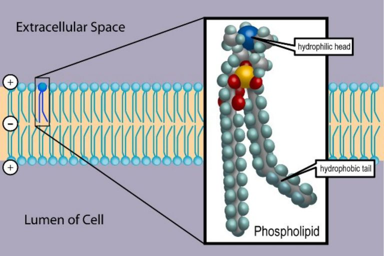 How phospholipids help hold a cell together ccuart Choice Image