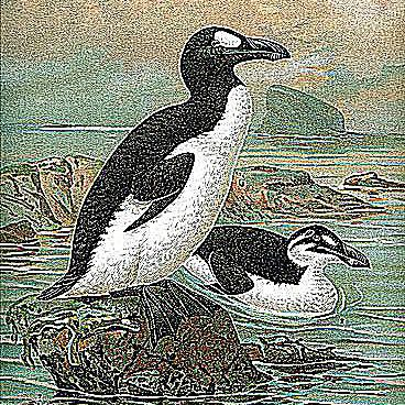 pinguinus great auk