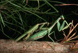 Carolina Mantids Mating