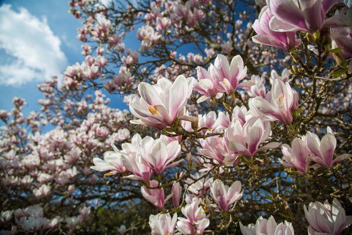 Characteristics Of Japanese Magnolia Saucer Magnolia