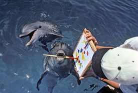 Bottlenose Dolphin (Tursiops truncatus) paints with paintbrush, while dolphin trainer holds the artwork, Dolphin Reef, Eilat, Israel - Red Sea.