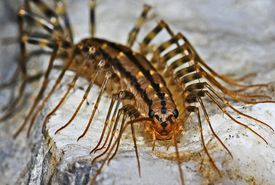 Close up of a centipede looking into the camera.