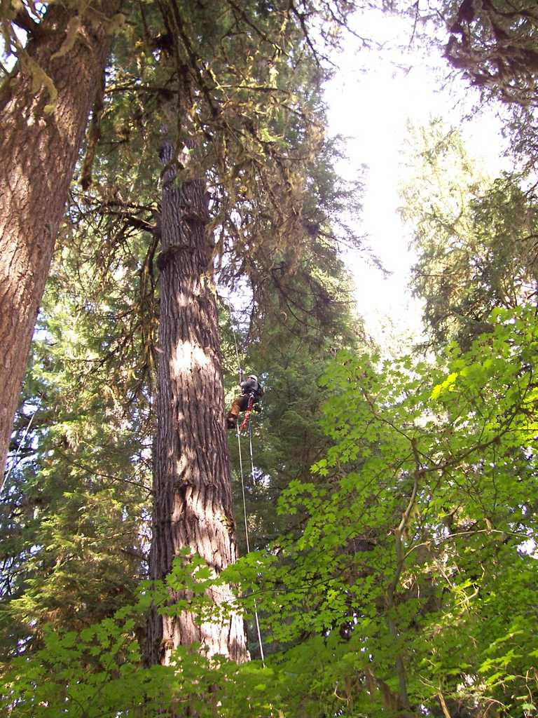 Person Climbing an Old Growth Doug Fir