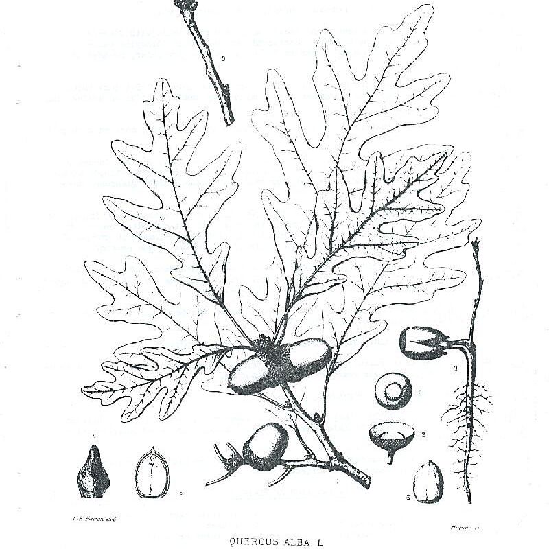 White Oak Illustration