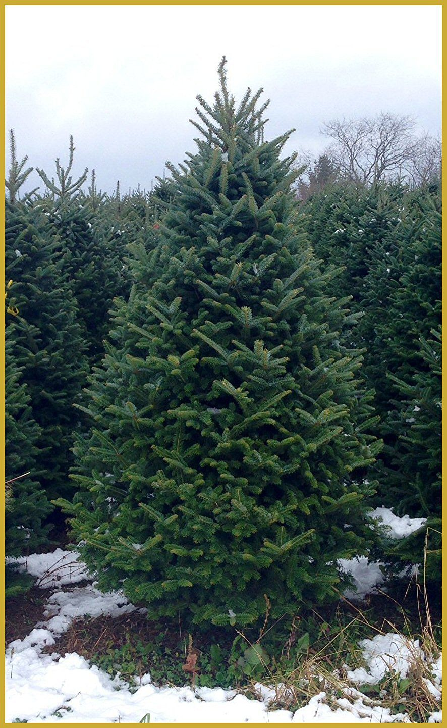 5 Places to Buy Live Christmas Trees Online