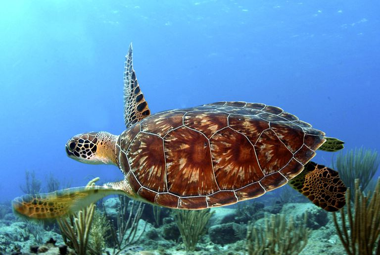 Green Sea Turtle Caribbean