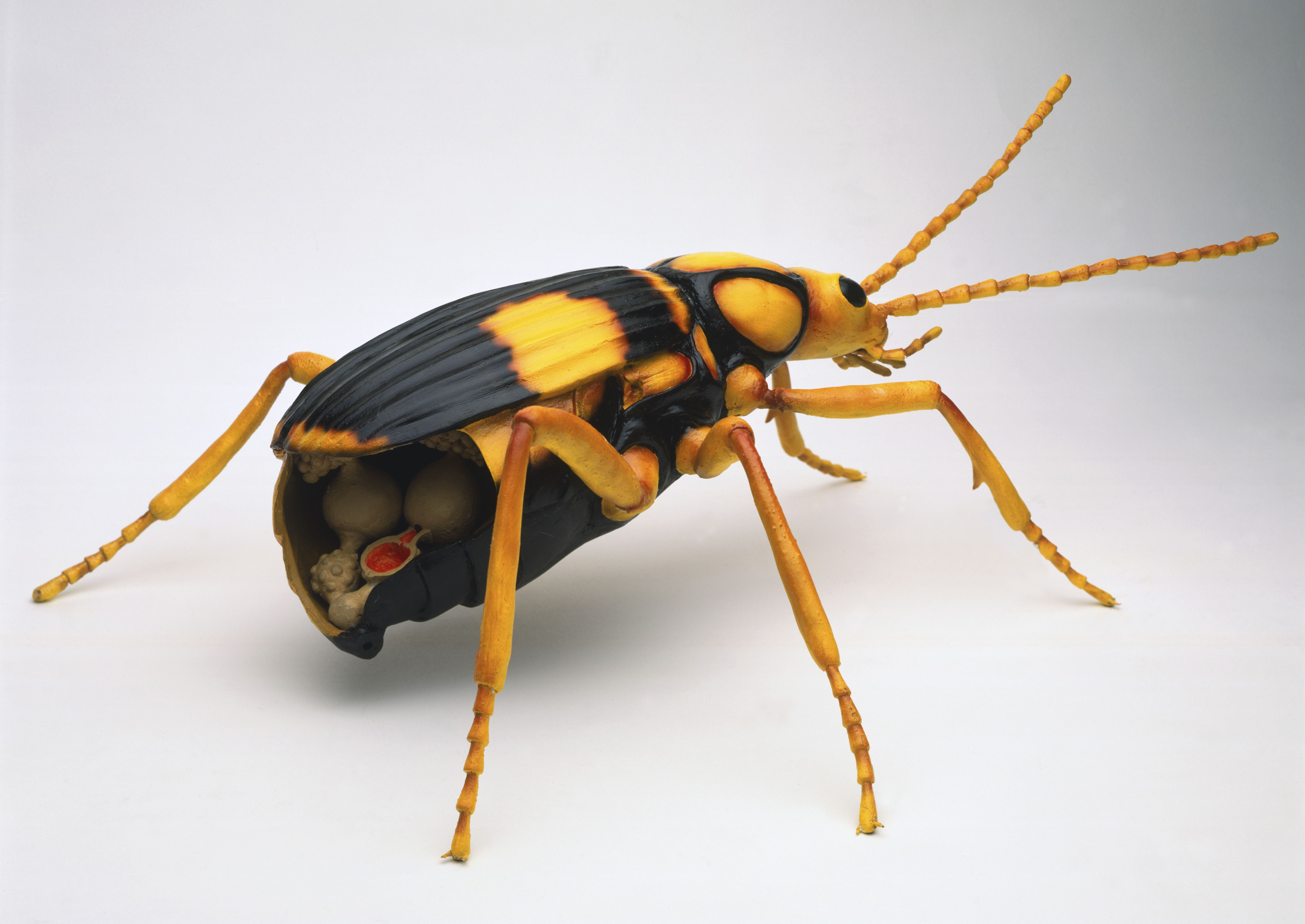 Model of black and yellow Bombardier Beetle with yellow legs, cross section showing venom glands and reservoir, explosion chamber filled with red liquid with one-way valve.