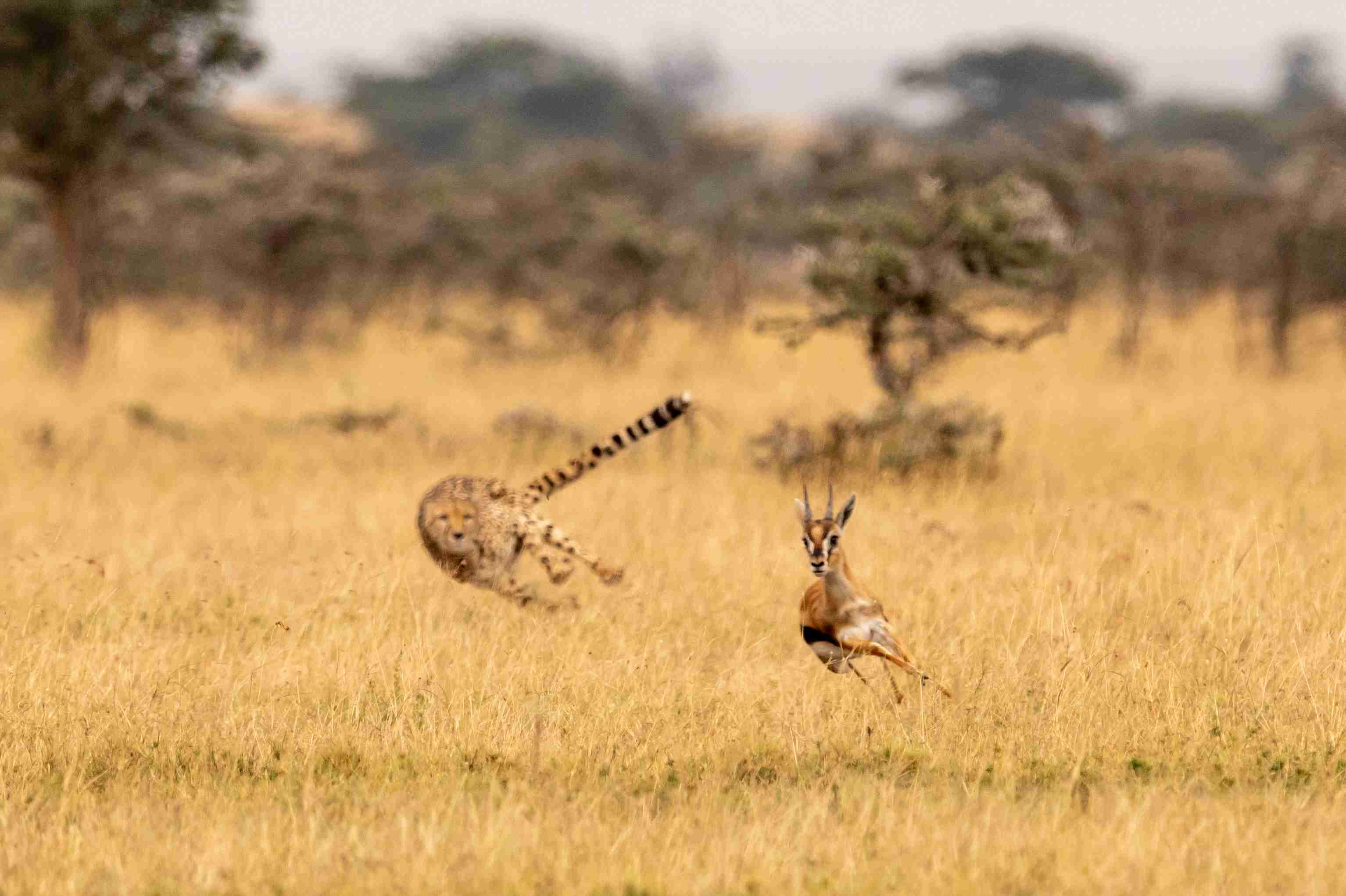 A cheetah uses its tail to help change direction while giving chase.