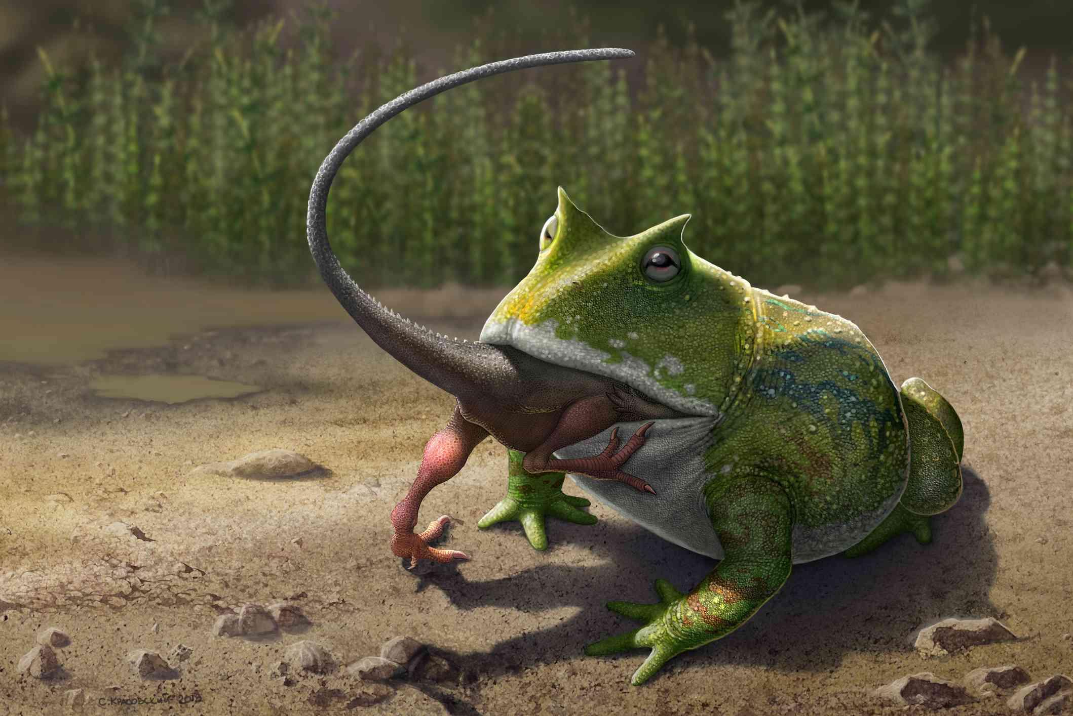 A large Beelzebufo ampinga frog