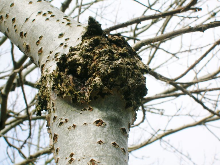 Fresh Canker Tree Disease - Prevention and Control SF76