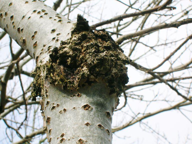 Tree Canker Disease