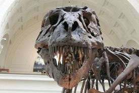 Tyrannosaurus fossils reconstructed