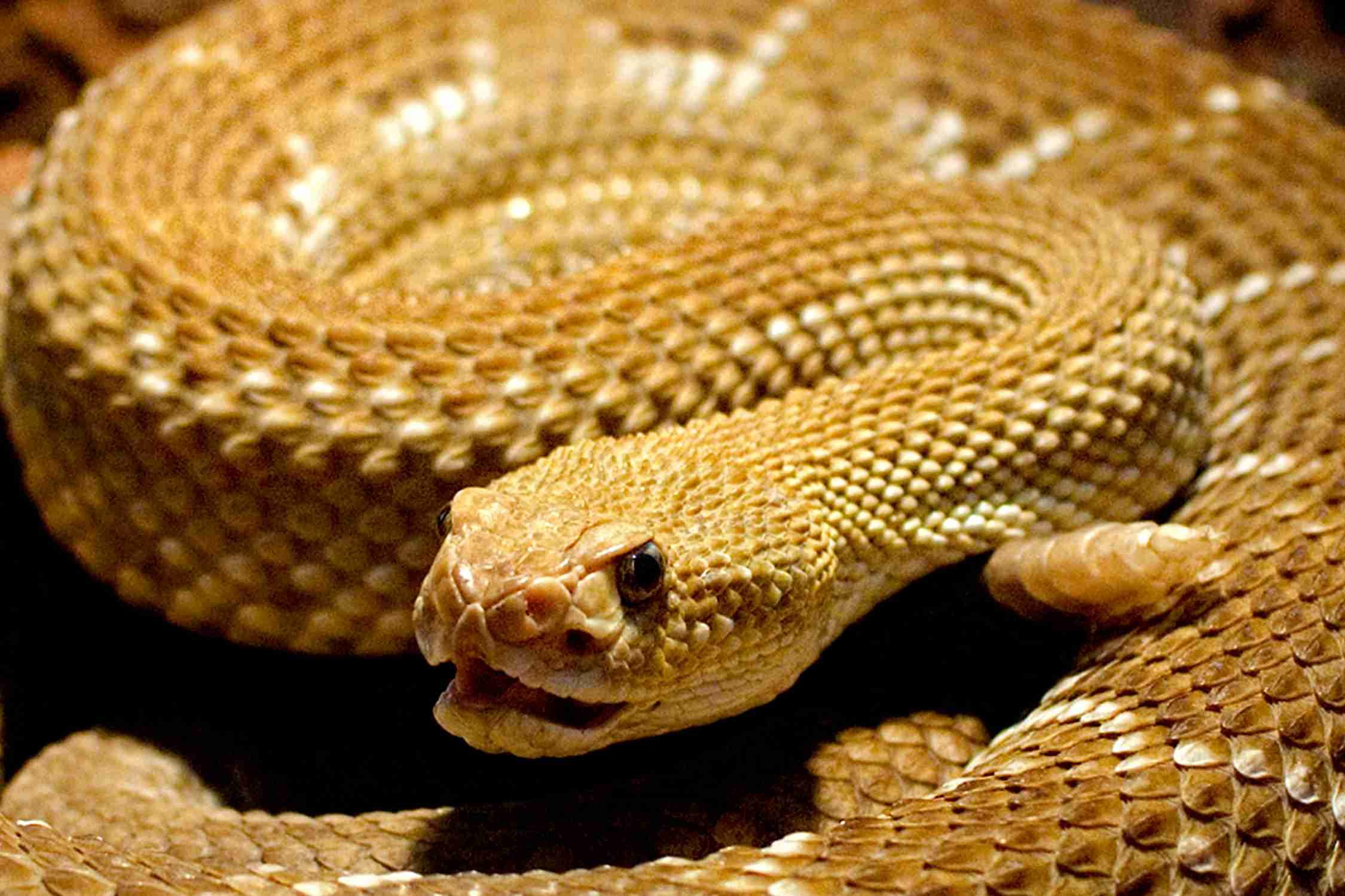 Rattlesnake - Crotalus and Sistrurus