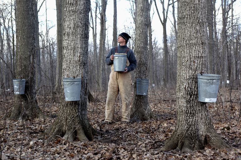 Maple Sap Collection And Syrup Production