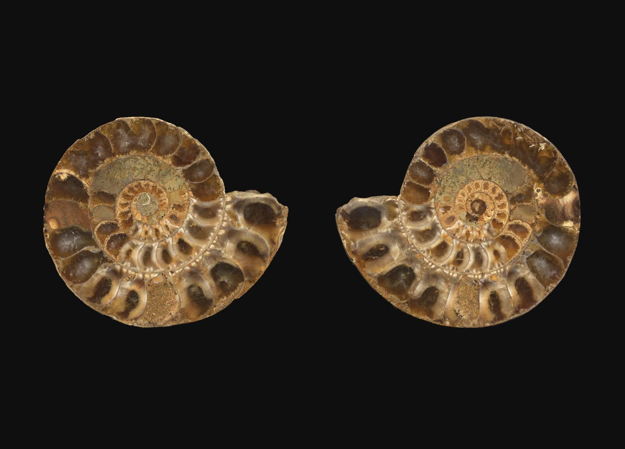 Ammonite pair split
