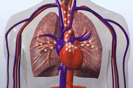 pulmonary circuit
