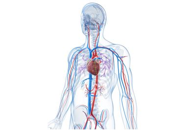 Heart wall epicardium myocardium and endocardium types of veins that keep your heart ticking ccuart Choice Image